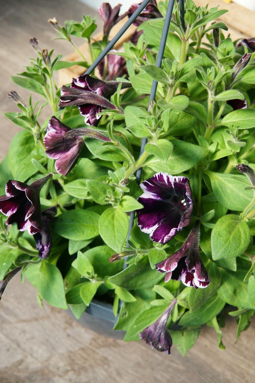 Petunie-Ampel   Violett