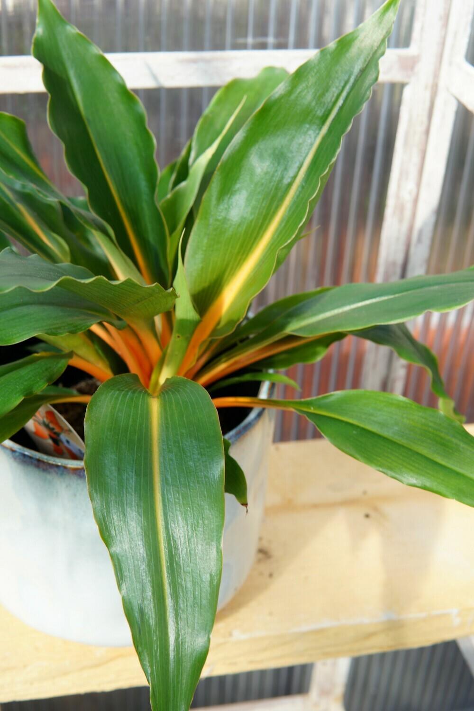 Grünlilie | Green Orange