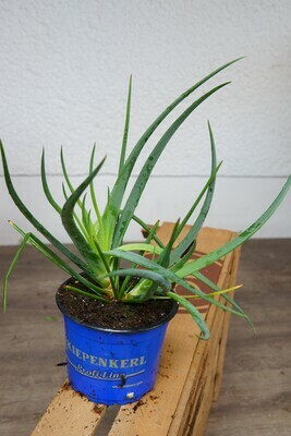 Heilpflanze | Stelzen-Bulbine