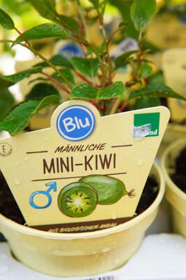 Mini-Kiwi | männlich