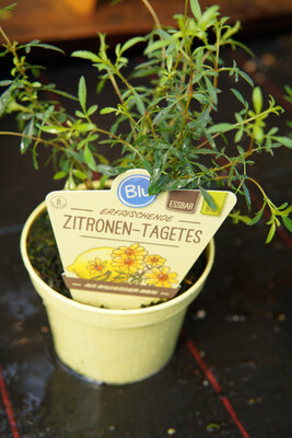 Zitronen-Tagetes | BIO
