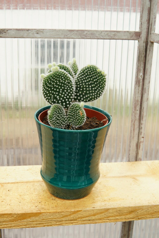 Kaktus | White Fusion