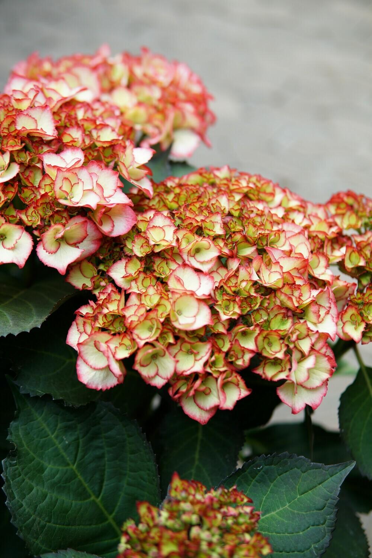 Hortensie-Busch | Die Schöne