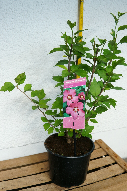 Garten-Hibiscus | ver. Farben