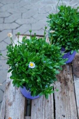 Blaue Margerite