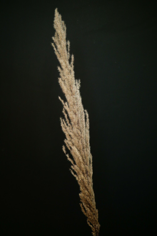 Trockenblumen | 3 x Pampasgras 'Paula' | Braun