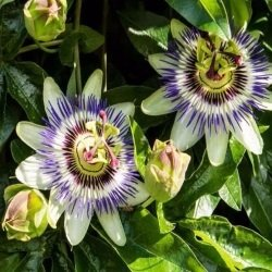 Passion Flower (Passiflora caerulea )