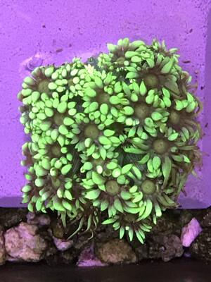 Metallic Goniopora (13)