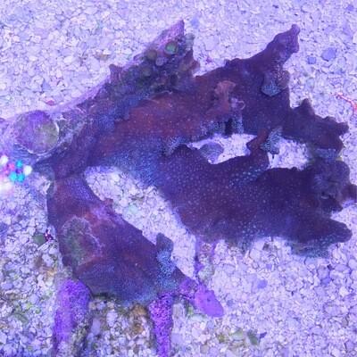 "10"" Purple pavona Encrusted Tonga Branches"