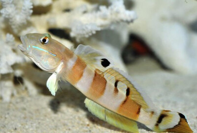 Tiger Watchman Goby