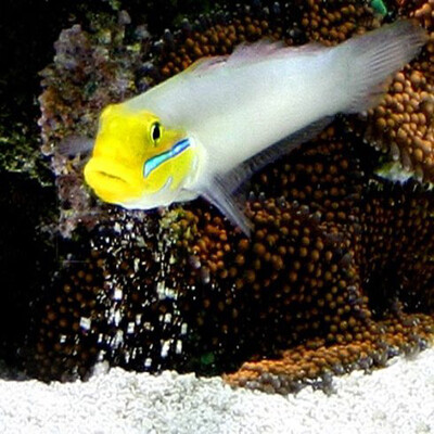 Yellow head Sleeper Goby