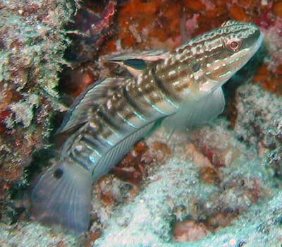 White Barred Sleeper Goby