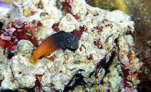 Bi-Colour Blenny