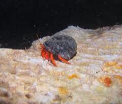 Bali's Metallic Red Hermit Crab