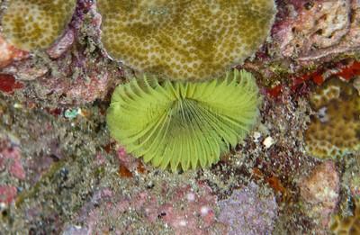 Yellow Fan Worm