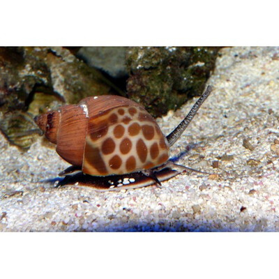 Orange Spotted Turbo Snail