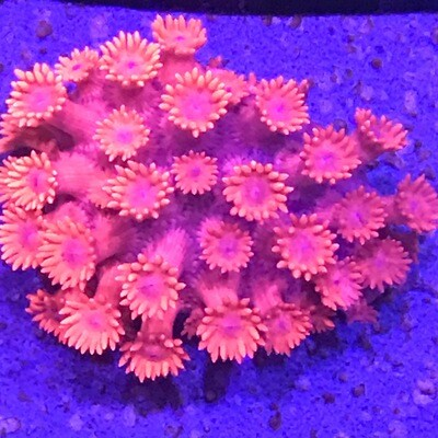 Ultra Pink Goniopora (13)