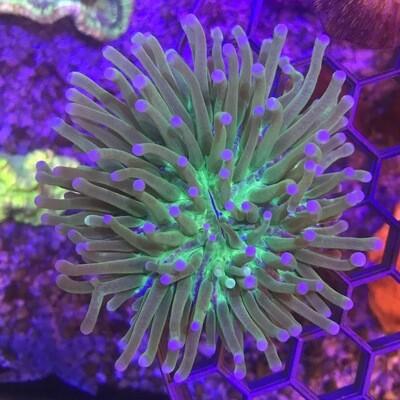 Heliofungia Plate Coral