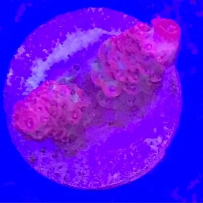Hot Pink Millepora (2)