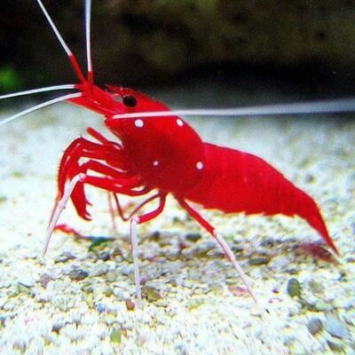 Fire Shrimp Lysmata Debelius
