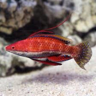 Ruby Long Fin Social Fairy Wrasse
