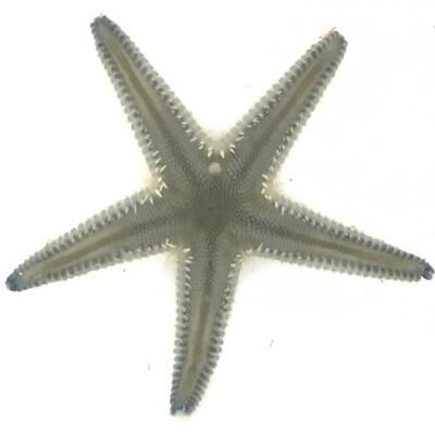 Blue Sand Sifting Starfish