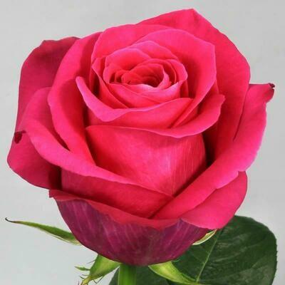 Роза по-штучно Эквадор Пинк Флойд 60 см.