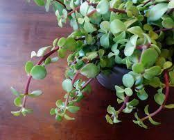 Portulacaria 'Elepant's Food Green' (3 1/2