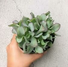 "Crassula 'Ripple' Jade (3 1/2"" pot succulent)"