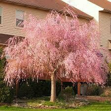 Cherry Weeping Pink $119.99