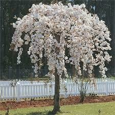 Cherry Weeping White Snowfountain $119.99