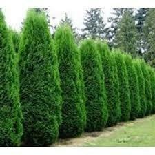 Arborvitae Emerald Green (3 gal pot) $34.99