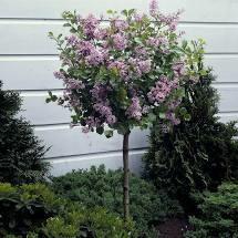 Lilac Palibin Dwarf Tree on standard $129.99