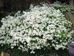 Azalea Pleasant White $34.99