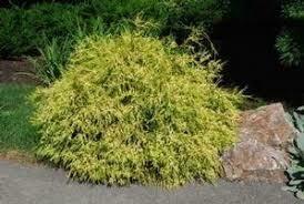 Cypress Lemonthread Chamaecyparis Falsecypress $34.99