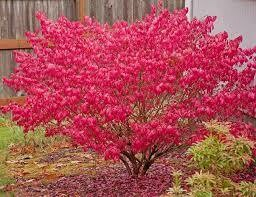 Burning Bush Euonymus (3 gal) $34.99