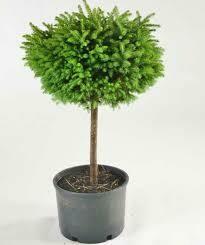 Spruce  Birdsnest Little Gem Shrub on Standard $119.99