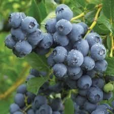 Blueberry 'Duke' (3 gal pot) $29.99