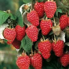 Raspberry Heritage Red (1 gal pot) $16.99