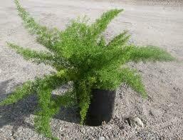 """Sprengerii Asparagus Fern (3 1/2"""" Pot Filler)"""