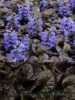Ajuga BLACK SCALLOP Bugleweed (quart perennial) $6.99