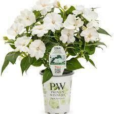 PW Sunpatiens White (quart pot)