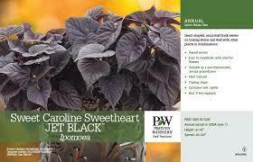PW Sweet Potato Vine Caroline Sweetheart Jet Black (quart pot)