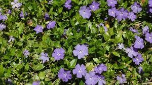 Mrytle Vinca Flat $59.99 (approx. 24 plants)