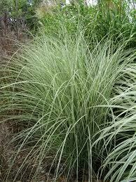 Grass Miscanthus Morning Light Maiden (gallon perennial) $12.99