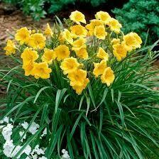 Hemerocallis Stella de Oro Daylily (gallon perennial) $9.99