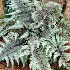 Fern Japanese Painted Pictum (gallon perennial) $9.99
