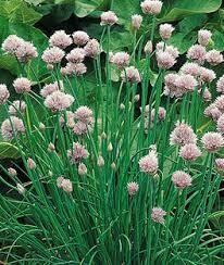 """Chives Garlic Geisha (3"""" herb pot)"""