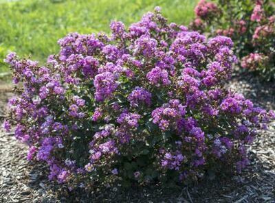 Crapemyrtle Lagerstromia Belini Grape (3 gallon) $39.99