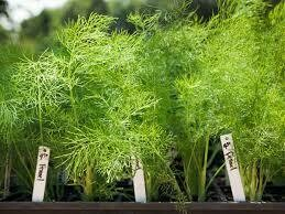 "Fennel Green Fernleaf (3"" herb pot)"